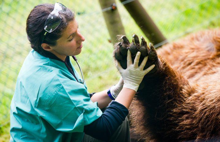 Alle Krallen dran: Bär bei der Vorsorgeuntersuchung im Zoo