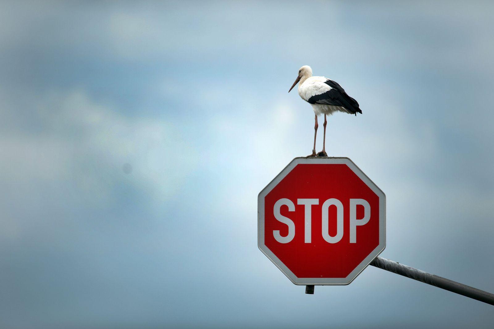 Storch auf Stop-Schild