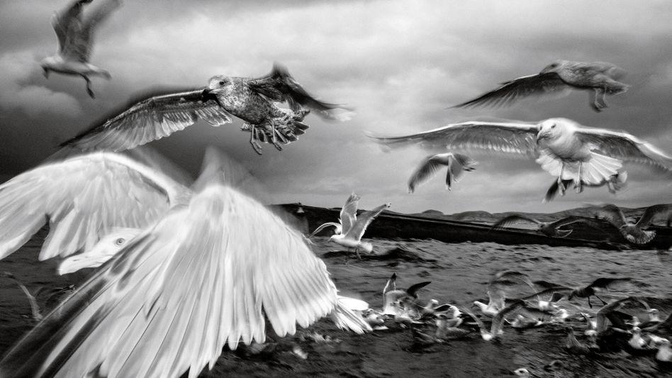 Vor der norwegischen Küste hat der vielfach ausgezeichnete Magnum-Fotograf Paolo Pellegrin Silbermöwen auf der Jagd nach Futter porträtiert. Auch ein bestimmter Typ von Führungskräften wird von Accountmanagern häufig als Möwe bezeichnet. Sie kommen angeflogen, machen jede Menge Geschrei und sind dann wieder weg.